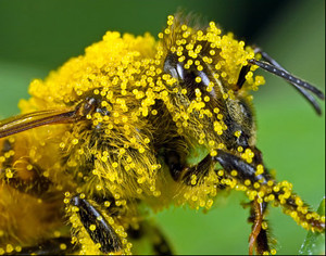 Pollen_1_kl